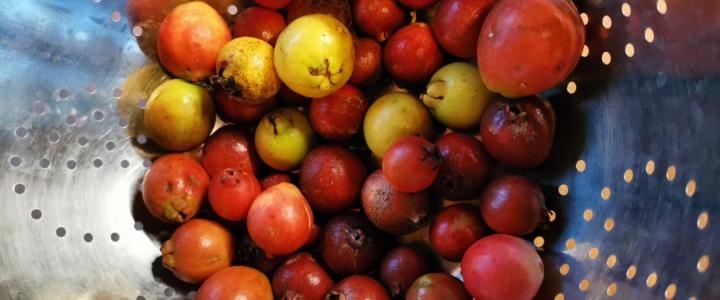 Von gesunden Instinkten und einer neuen, antientzündlichen Frucht: Die Araçá